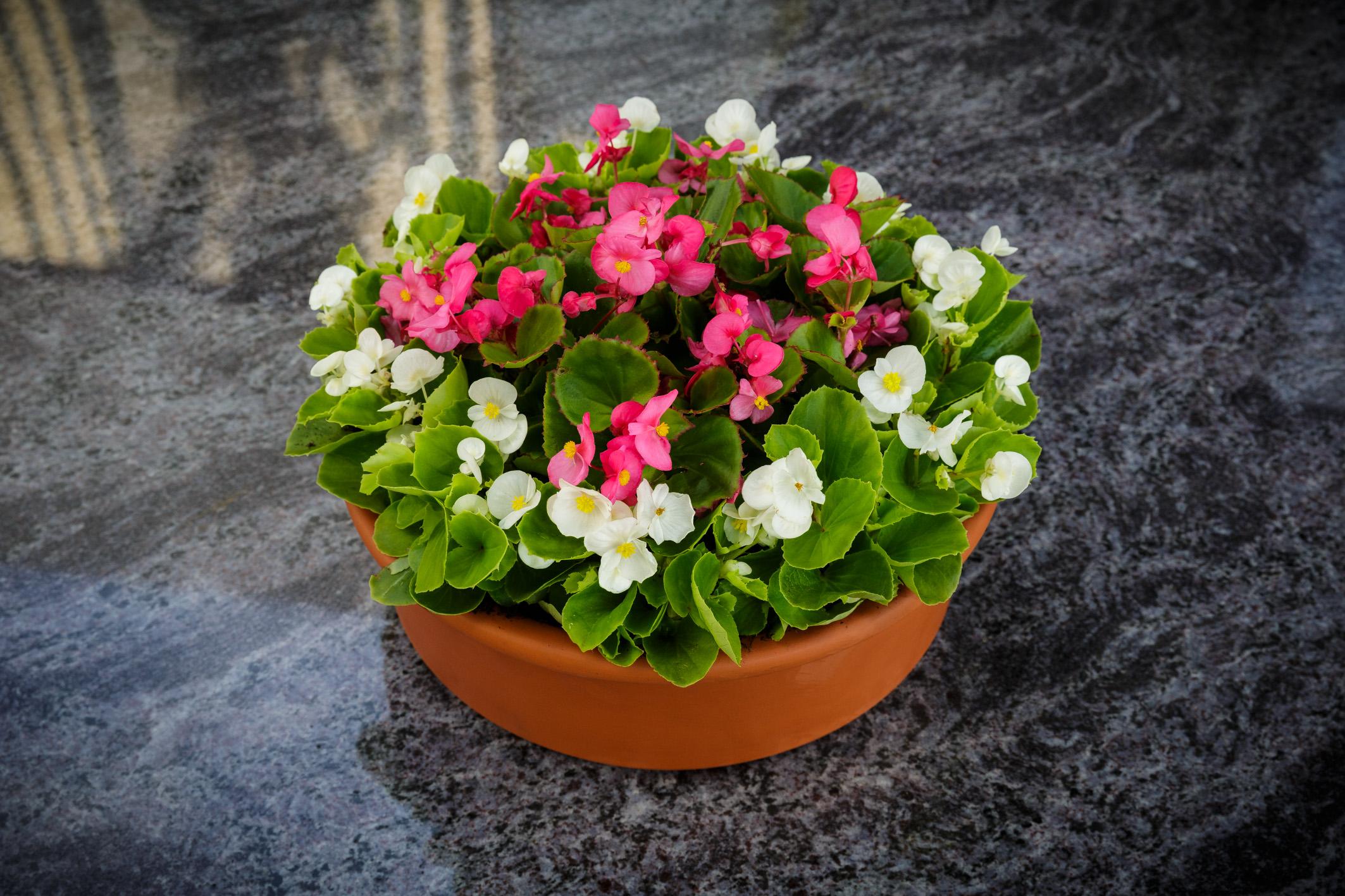 Blumenschale-Begonien