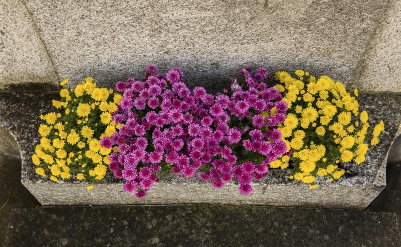 Jardiniere-Chrysanthemen