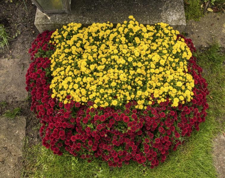 Teilfl-che-Chrysanthemen